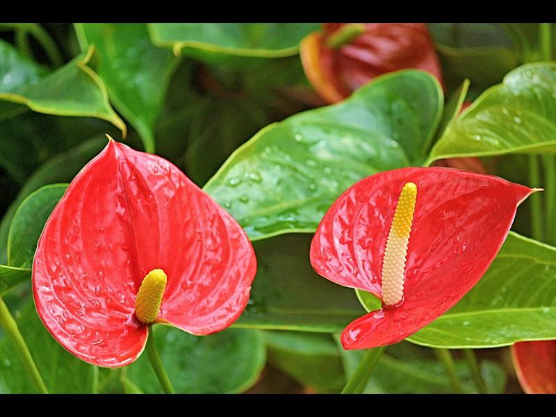 anthurium-flamingo-flower-2507743_1920