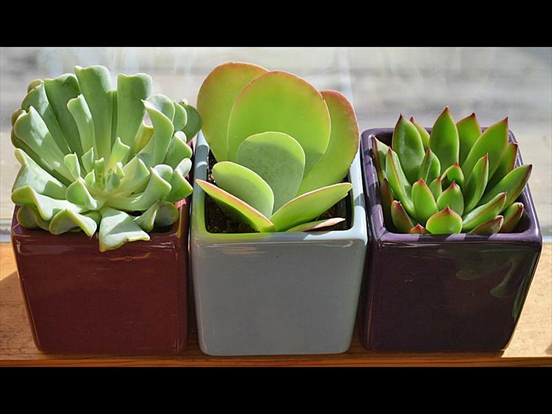 succulent-trio-2026503_1920